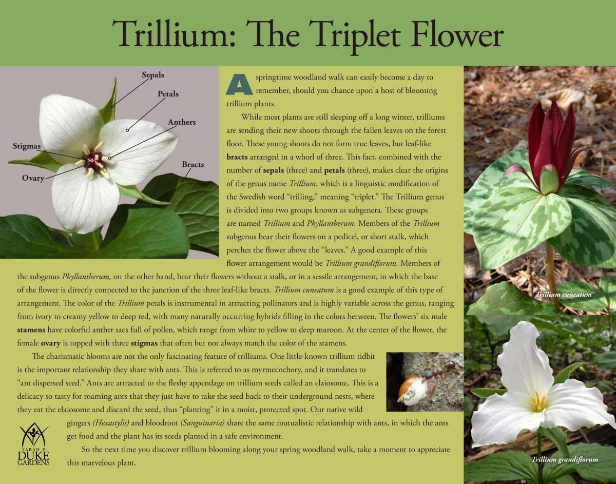 The wildlife garden in the h l blomquist garden of native plants - Blomquist Plant Highlights Informational Pdfs Trillium Trillium