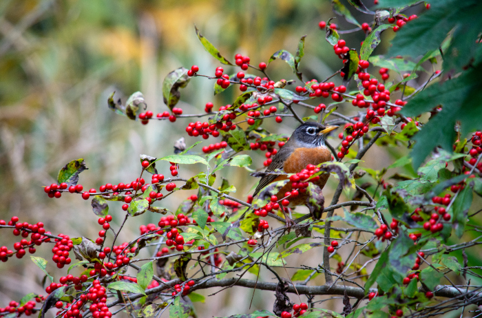 robin in a native holly