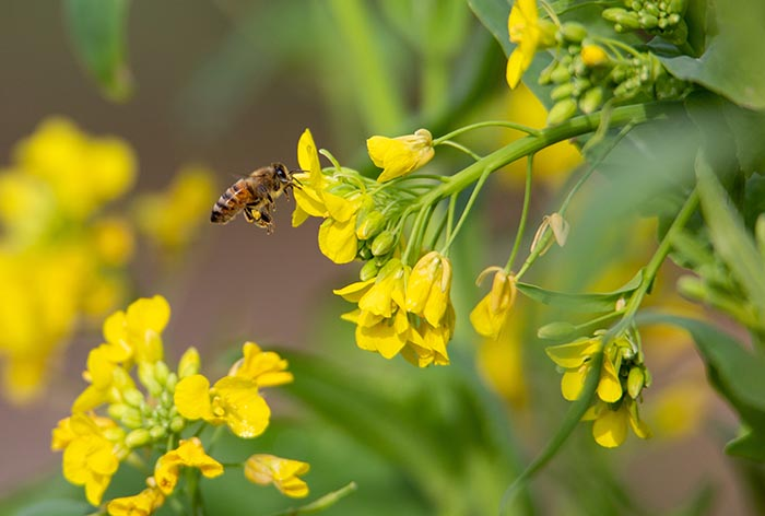 Honeybee on a brassica flower