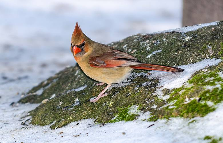 female cardinal on a mossy, snowy rock